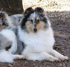 CASTLEBAR COLLIES... AKC breeder rough collie, smooth collie, collie puppies