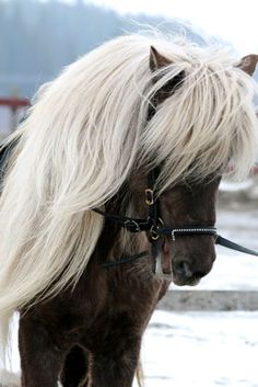Silverblack icelandic horse. I am just going to have to go to Iceland to pick up one of these. They have great hair.