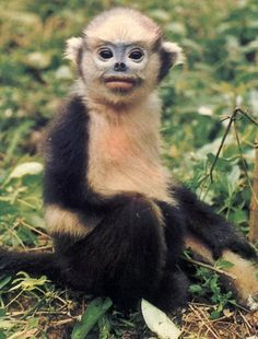 The tonkin snub-nosed monkey is endemic to Northeastern Vietnam, where there are fewer than 200 left.