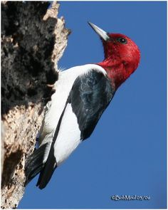 Adult Red-headed Woodpecker