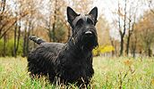 Scottish Terrier breed info,Pictures,Characteristics,Hypoallergenic:Yes Pug, Dachshund, Black Dogs Breeds, Large Dog Breeds, Aberdeen, Hypoallergenic Dog Breed, Terrier Dog Breeds, Skót Terrier, Dog List