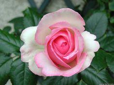 Rose Ronsard