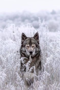 Resimlerin Dili Nature Animals, Animals And Pets, Baby Animals, Cute Animals, Animals In Snow, Wild Animals, Funny Animals, Wolf Love, Wolf Pictures