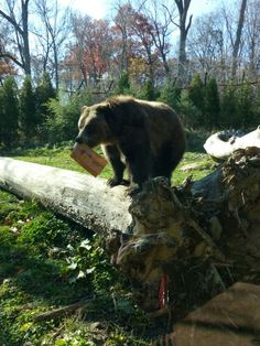Grizzlies are enjoying their nice day