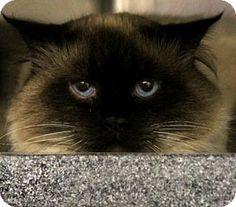 Westampton, NJ - Ragdoll. Meet Boris 34448626, a cat for adoption. http://www.adoptapet.com/pet/17488319-westampton-new-jersey-cat