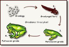 Teckning på grodans livscykel