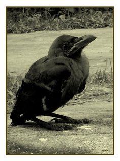 Reference: Baby crow