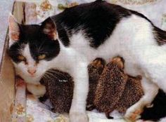 A Mother Cat adopts Hedgehog Babirs