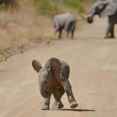 Adorable little elephant! Found on IG Adorable little elephant! Photo Elephant, Image Elephant, Cute Creatures, Beautiful Creatures, Animals Beautiful, Cute Baby Animals, Animals And Pets, Funny Animals, Wild Animals