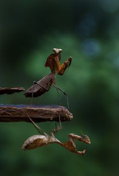 **Mantis by CK NG on 500px