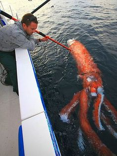 A three metre long giant squid has been found floating off the south coast of Australia