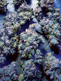 Market Analysis:  Once again, Kush landed in the top pot spot, narrowly edging out Diesel as the months most submitted strain. Kush has been the markets most submitted strain for 13 of the last 15 months. Diesel, Purps, Haze and Blue Dream all made repeat appearances in the top five this month. However, Haze dropped two spots down to fourth, while Diesel and Purps moved up to second and third, respectively. The top five strains (with average price)...