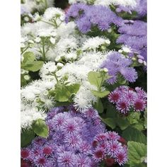 $2.78  1.25-Quart Ageratum (L3980) Mounding Maximum Height (Inches)12.0 Maximum Width (Inches)12.0. Deer-Resistant. mosquito repelling  Full sun. Plant some in pots in firepit area & pool shed
