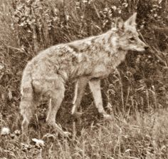 Listening to Coyote – Returning Celilo Falls and Freeing the Big River | Tree Oathe - Fresh Ancients of Cascadia & Beyond....