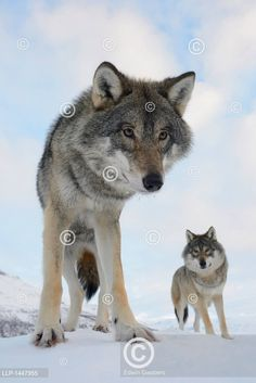 Two European grey wolves. Grey Wolves, Husky, Wolf, Animals, Outdoor, Animales, Outdoors, Animaux, Wolves