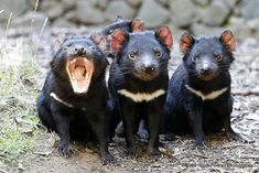 Tasmanian Devil - Found mainly in Tasmania and along the southeastern coast of Australia. They are nocturnal, and usually eat birds, lizards. or scavenge the remains of dead animals they may come across. Tasmanian devils only get 3 to 4 feet in length. Animals And Pets, Baby Animals, Funny Animals, Cute Animals, Especie Animal, Mundo Animal, Amazing Animals, Animals Beautiful, Reptiles
