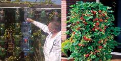 Idea genial para  cultivar fresas en botella de plástico en forma de pir...