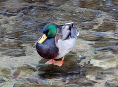 Mallards ©Jane Baryames. Wild Bird Company - Boulder, CO, Saturday Morning Bird Walk in Boulder County - January 2, 2016.