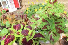 indoor plants, coleus blumei, palettbald