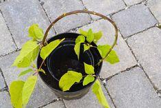 Den Lykkelige Hagen : Stiklingsformering av busker - syrinhortensia Annabelle Garden, Garten, Lawn And Garden, Gardens, Gardening, Outdoor, Yard, Tuin