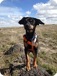 Pictures of Felix a Manchester Terrier/Chihuahua Mix for adoption in Boise, ID who needs a loving home. I want this little guy!