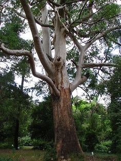 Large Gum Tree from Africa File:Eucalyptus saligna.JPG