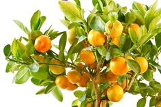 Cultivating Houseplants from Fruit & Vegetable Scraps Buy Trees Online, Frugal, Meyer Lemon Tree, Cheap Plants, Outdoor Pots, Citrus Trees, Garden Shop, Potting Soil, Houseplants