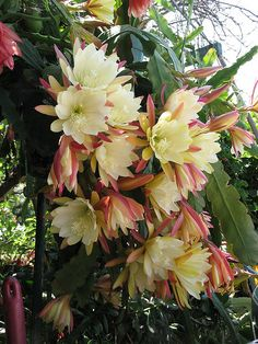 Buy Seeds-Cactus - Epiphyllum Mix - Orchid Cactus Online - Get Off art garden indoor plants Cacti And Succulents, Planting Succulents, Cactus Plants, Garden Plants, House Plants, Planting Flowers, Cactus Seeds, Indoor Cactus, Cactus Art