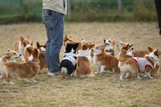 The only thing better than a corgi IS A PACK OF CORGIS!