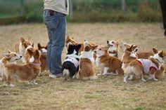 Heaven would be a corgi herd
