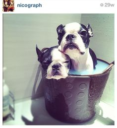 follow nicograph on instagram!! love these boston terrier s :) my avalon needs a sibling!!
