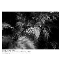 #モノクローム #loves_nature #単焦点レンズの世界  #写真好きな人と繋がりたい #写真撮ってる人と繋がりたい #私の花の写真 #butterfly #beautiful_nature #マレーシア #お散歩カメラ #monochrome #東京カメラ部 #photographylovers #reco_ig #naturegram #デジタルでフィルムを再現したい #photographyislife  #ファインダー越しの私の世界  #photographer  #観葉植物 #キタムラ写真投稿 #flowerslovers #loves_garden #photo_shorttrip #写真で伝えたい私の世界 #fujixclub #tokyocameraclub #fujifilmxt1 #ray_moment #1utama http://gelinshop.com/ipost/1518883049923953861/?code=BUUKBYmFETF