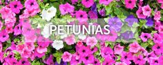 "For people like me who live in the southern hemisphere summer is still a few months away, but its never to early to do an article on these economically beautiful plants. ""Cheep as chips. Our guide for getting Petunias this summer. Petunias, People Like, Southern, Chips, Articles, Live, Garden, Plants, Summer"