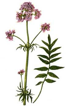 valerian_botanical_drawing2.jpg (228×344)
