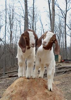 Goats on a rock.  I keep telling hubby there's a purpose for the giant rock in our backyard.
