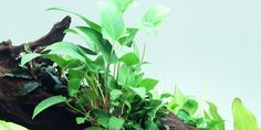Anubias gracilis - Tropica Aquarium Plants