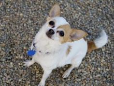 Polly is an 7 year old female Chihuahua. She came to the shelter because her owner was having a baby and could no longer care for her. Polly is very affectionate once she gets to know you and will jump in your lap to say hi! Polly can be a little nervous, so she would do best in a quiet home with no small children. #Cute #Small #Pets #Dogs #Animals #Adoptme