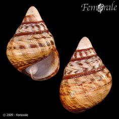 Achatinella apexfulva (Dixon, 1789) - Femorale Store