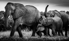 "Saatchi Art Artist Laurent Baheux; Photography, ""Following big mother"" #art"