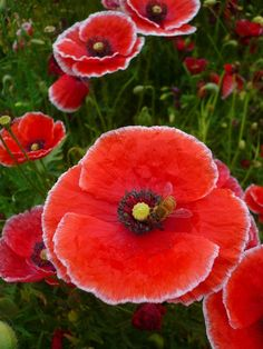 ~Red papaver Shirley poppies