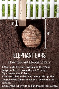 All About Elephant Ears. Learn when and where to plant elephant ears, how to care for the plants, how to use them in gardens and containers, and how to care for the plants at the end of the season. Garden Bulbs, Planting Bulbs, Garden Plants, Planting Flowers, Growing Flowers, Shade Garden, Elephant Ear Plant, Elephant Ears, All About Elephants