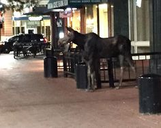 A young female moose is seen late Sunday night on Boulder's Pearl Street Mall. Police officers helped coax the animal out of downtown. (Courtesy Boulder Police Department)