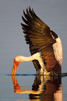 Yellow Billed Stork, Botswana