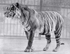 Tigre de Java / Animais que foram extintos no século 20 - Revista Ecológico