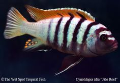 AquaBid.com - Item # fwcichlidsmmb1364406841 - 6 pack Cynotilapia sp. Jalo Reef F1 - Ends: Wed Mar 27 2013 - 12:54:01 PM CDT
