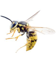 Perth Pest Control eliminates Wasps fast. Control your Wasp problems guaranteed.  Very similar to a Bee, Wasps have a nasty sting and if disturbed will attack in numbers. Unlike a Bee, Wasps are able to sting multiple times without being affected.