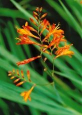 """Crocosmia Bulb Care: Tips For Growing Crocosmia Flowers    By Bonnie L. Grant      Image by Jukka Heinonen Growing crocosmia flowers in the landscape produces masses of sword-shaped foliage and brightly colored blooms. Crocosmias are members of the Iris family. Originally from South Africa, the name comes from the Greek words for """"saffron"""" and """"smell."""""""