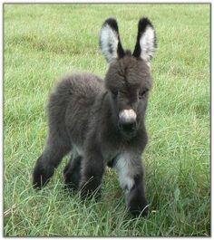 Dwarf Donkey or Miniature Donkey is enjoyable loving, cheerful, loyal and superiorly intelligent. So let's jump into some surprising mini donkey facts Baby Donkey, Cute Donkey, Mini Donkey, Animals And Pets, Funny Animals, Animals Images, Baby Farm Animals, Miniature Donkey, Miniature Horses