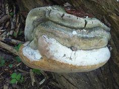 Fungus on tree