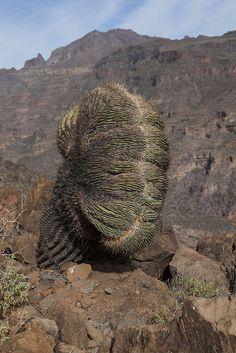 Deformierter Kaktus, Baja California, Mexico